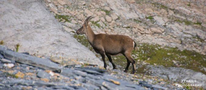 Cabra ibex near Col de la Croix