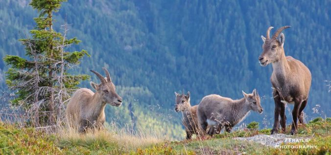Cabra ibex family on Le Brevent